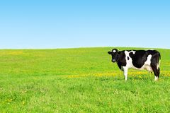 Cow on a green meadow. Cow grazing on a green meadow Royalty Free Stock Photo