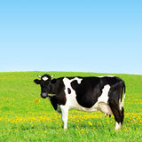 Cow on a green meadow. Cow grazing on a green meadow royalty free stock images
