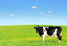 Cow on a green meadow. Cow grazing on a green meadow stock images