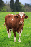 Cow in an green meadow Stock Photography
