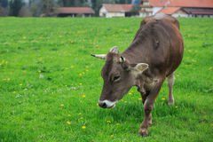 Cow in an green meadow Royalty Free Stock Photos