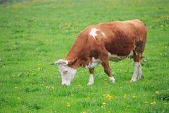 Cow in an green meadow Stock Photos