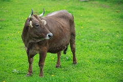 Cow in an green meadow Royalty Free Stock Photography