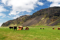 Cow on green meadow in Iceland Royalty Free Stock Photos