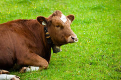 Cow on green meadow Royalty Free Stock Photography