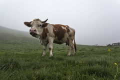 Cow on a green meadow 12 Royalty Free Stock Image