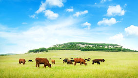 Cow on green meadow. Royalty Free Stock Photos