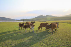 Cow on green meadow in summer Royalty Free Stock Image