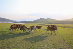 Cow on green meadow in summer Stock Photo