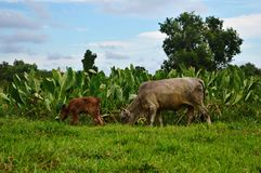 Cow in green meadow royalty free stock photography