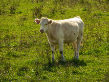 Cow on a green meadow Royalty Free Stock Images