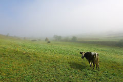 Cow on a green misty  hill Stock Photography