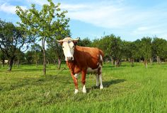 Cow and green orchard Stock Photography