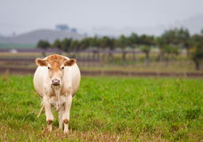 Cow in green paddock Stock Images