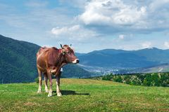Cow on green pasture. In mountains. Beauty view on green forest and blue hills royalty free stock images
