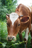 Cow on a green summer meadow. Blurred background Royalty Free Stock Photography