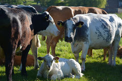 Cow group. Group of cows with calf in sunlit field Stock Image