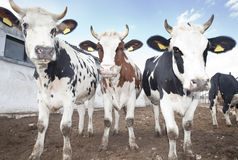 Cow Group. Cows looking at camera outdoors Royalty Free Stock Photo