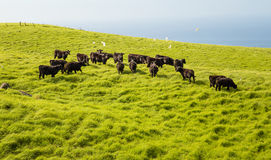 Cow Group. Group of young cows in a summer field. Big Island of Hawaii Royalty Free Stock Image