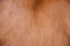 Cow hair skin Stock Image