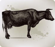Cow, hand-drawing. Vector illustration. Stock Images