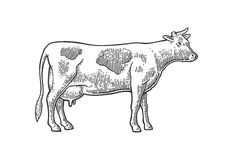 Cow. Hand drawn in a graphic style. Vintage  engraving illustration for info graphic, poster, web. Isolated on white backgro Royalty Free Stock Photography