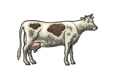 Cow. Hand drawn in a graphic style. Vintage vector engraving illustration for info graphic, poster, web. Isolated on white backgro Royalty Free Stock Image