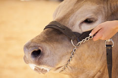 Cow Hand Hold Stock Images