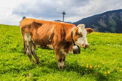 Big fluffy mountain cow. Cow hanging big bell under it neck on the grassfield Stock Photography