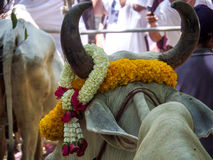 Cow has perform ceremony for encouragement Royalty Free Stock Image