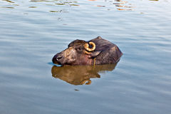 Cow has a rest in the lake. Of the village Stock Photo