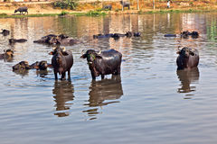 Cow has a rest in the lake. Cows have a rest in the lake of the village Royalty Free Stock Photography