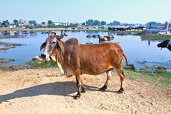 Cow has a rest in the lake. Of the village Royalty Free Stock Images