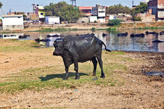 Cow has a rest in the lake of the village. Water buffalo has a rest in the lake of the village Royalty Free Stock Images