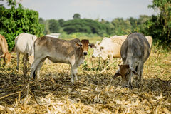 Cow and havested field rice backgroud Stock Images