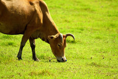 Cow having lunch Royalty Free Stock Image