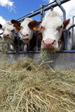 Cow and hay Stock Photography