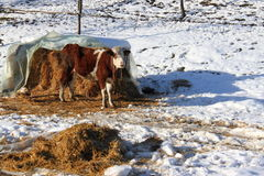 Cow and hay. Cow and pile of dried hay on snow Royalty Free Stock Images