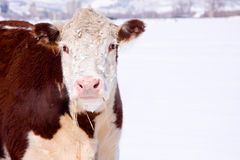 Cow with Hay in mouth. A brown pink nose cow with hay hanging out of its mouth and steam coming out of her nose. On a white snowy background Royalty Free Stock Image