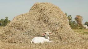 Cow in haystack stock footage
