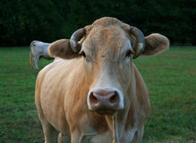 Cow head. Cow in a country field in the morning Stock Photos