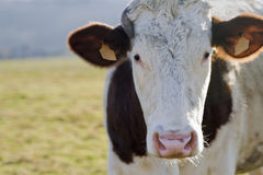 Cow head. Royalty Free Stock Image