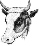Cow Head Royalty Free Stock Photos