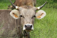 Cow head. With grass Royalty Free Stock Photography