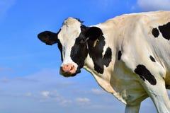 Cow head against blue sky Stock Photography