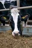 Cow head close-up in a pen on a dairy farm stock image