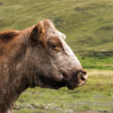 Cow head. Close up of a cow's head with a natural field background stock image