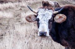 Cow head Stock Photos