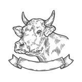 Cow head, Fresh beef organic meat. Hand drawn sketch in a graphic style.. Vintage vector engraving illustration with ribbon for poster, web. Isolated on white Stock Photos