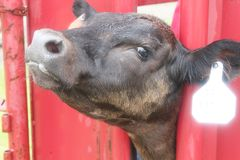Cow In A Head Gate. A cows head is caught in a head gate so the large animal vet can work on her with less danger to himself Royalty Free Stock Photography